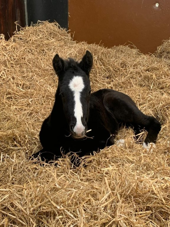 Dark Angel Beldale Memory foal