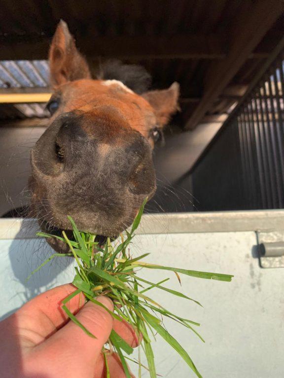 Shiba foal grass