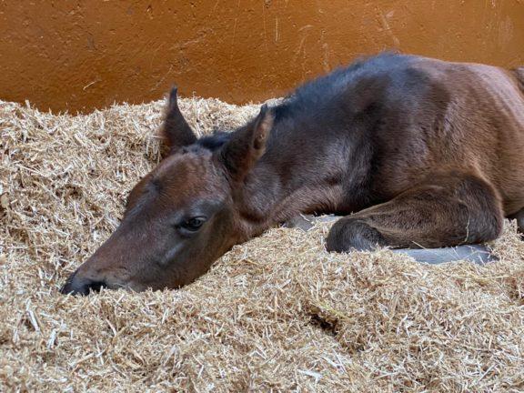 Foal chilling